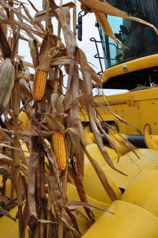 Close up of corn on the stalk next to a combine.