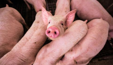 Several pigs gathered together.