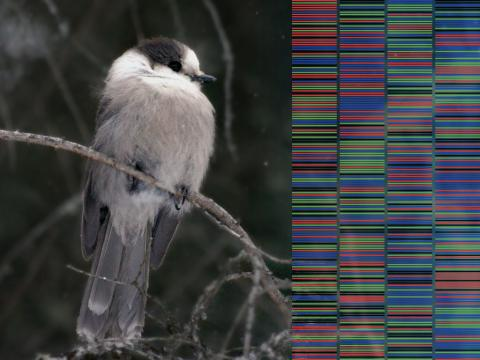 Grey Jay with translucent DNA graphic overlay