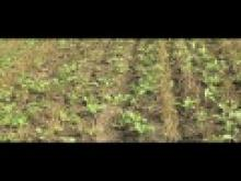 The benefits of cover crops thumbnail