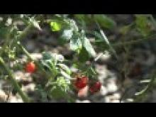 Tackling bacterial spot and speck in processing tomatoes thumbnail