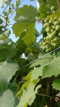 Close of up green grapes and green leaves