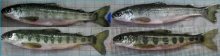 Photo of young salmon showing variation in parr marks
