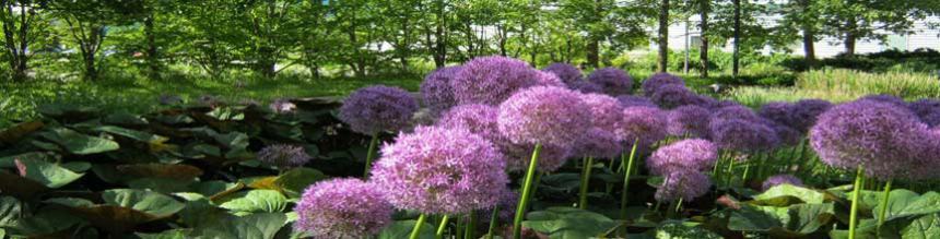 Allium purple flowers in bloom